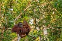 orangutans in wild
