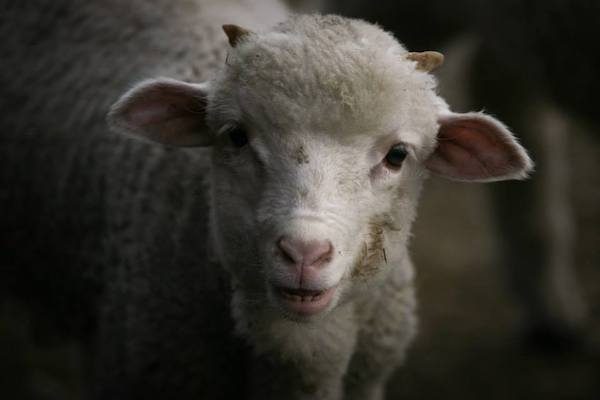 a lamb looking into the camera