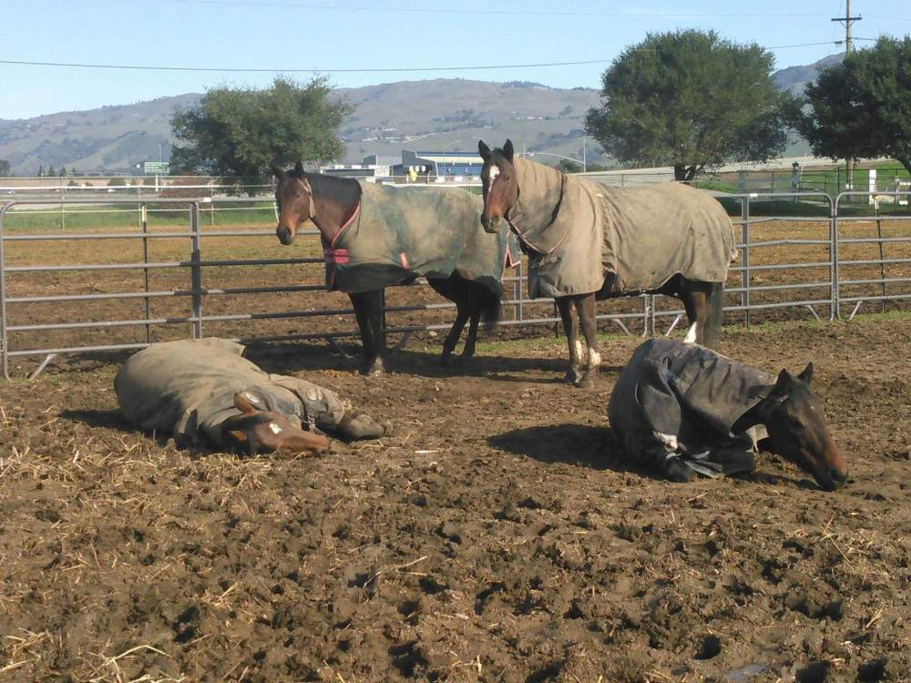 Horses laying in feild.