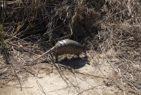 Armadillo - little armored one