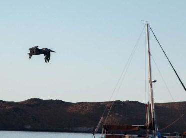Pelican over S/V Tigress II