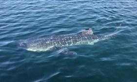 Whale shark in BLA Village anchorage