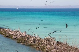Frigate bird rookery in Bahía San Gabriel