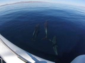 Dolphin fun en route to Refugio on the north end of La Guarda