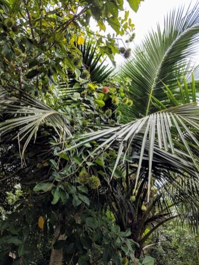 A rambutan tree!