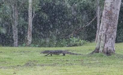Monitor lizard in the rain