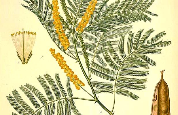 acacia wood, occult symbol of acacia, sacred plant