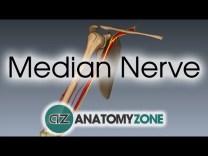 Median Nerve | 3D Anatomy Tutorial