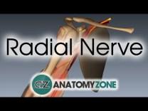 Radial Nerve   3D Anatomy Tutorial