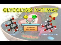 Steps of Glycolysis Reactions – Animation