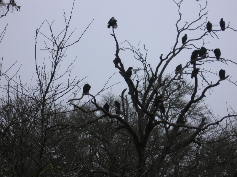 Vulture Roost, Palmetto State Park, Texas