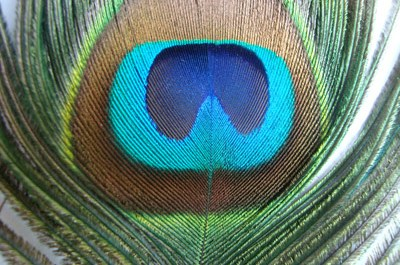Peacock Wing