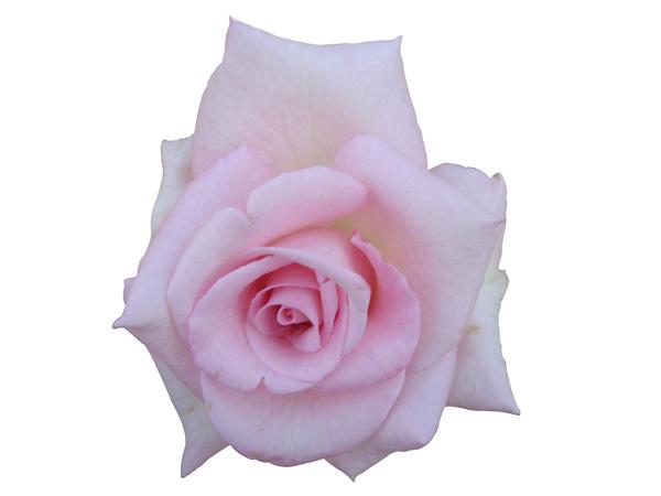 Pink rose – Free PSD