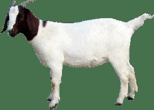 Download Goat Download Png HQ PNG Image  FreePNGImg
