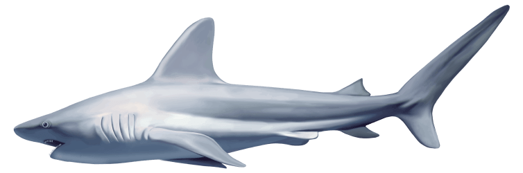 shark clipart realistic animal transparent clip sharks scary cartoon tiger underwater whales fish animals drawing logos vector tiburones embellishments pluspng