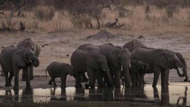 Photo of نفوق 55 فيلا في زيمبابوي … والعلماء يكشفون السبب!!