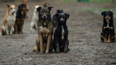 Photo of استنساخ ستة كلاب قوية وسريعة تتسم بالحس الامني.. فيديو