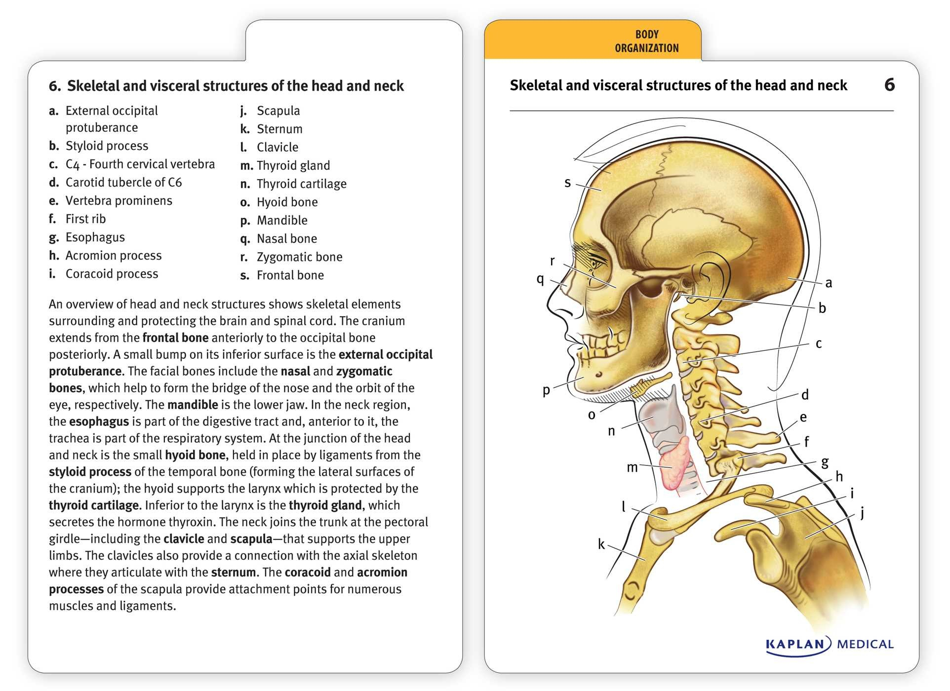 Free Printable Muscle Flashcards