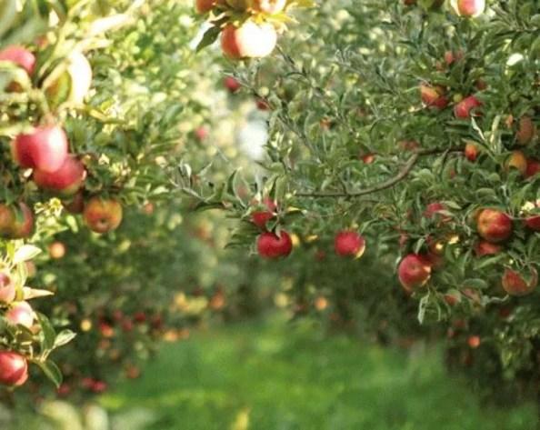 Himachal Apples Today