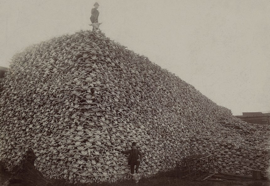 A pile of bison skulls prior to being ground into fertilizer in the mid-1870s. By 1886, less than 1,000 bison remained in North America.