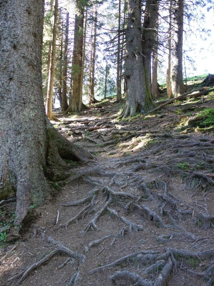 in den Wald, wo tolle Wurzelteppiche warten.
