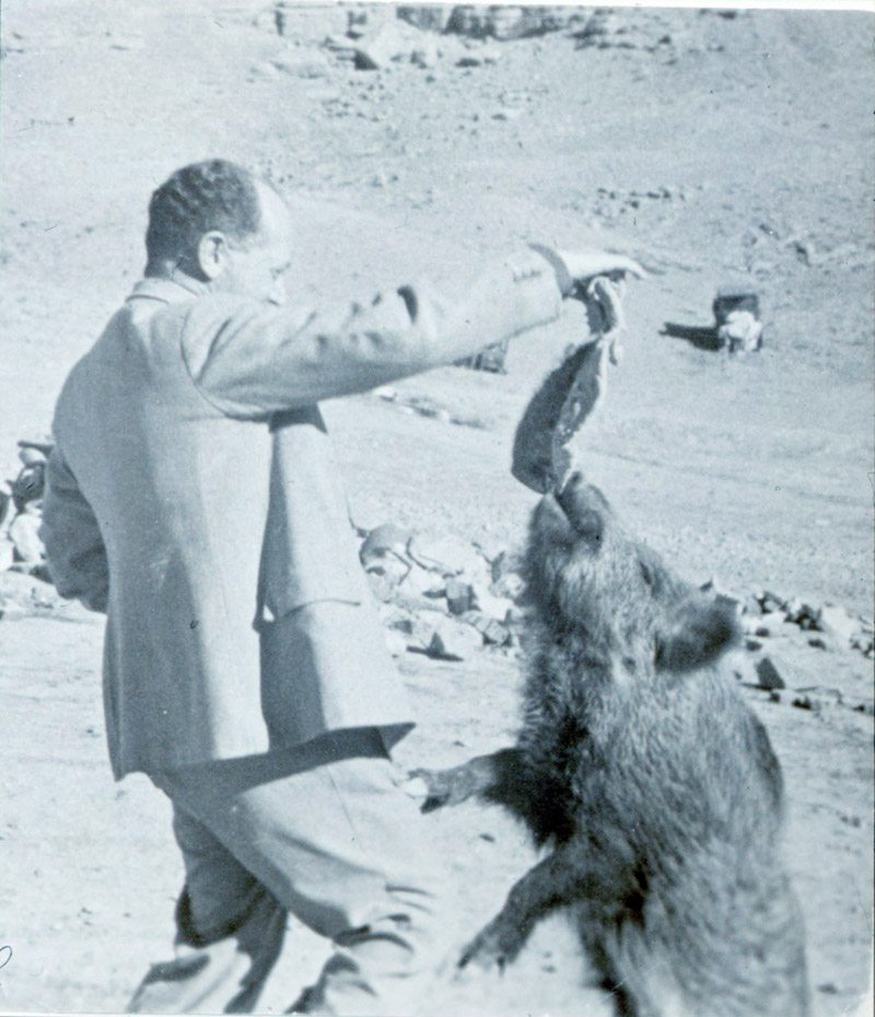 Ernst Herzfeld  holding food for his pet boar. Boar is standing on hind legs reaching for food.