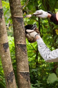 A lacquer tree is tapped for sap