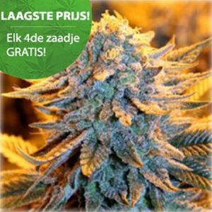 Dutch lowrider autoflower wietzaden