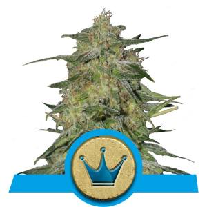 CBD Royal Highnes wietzaden