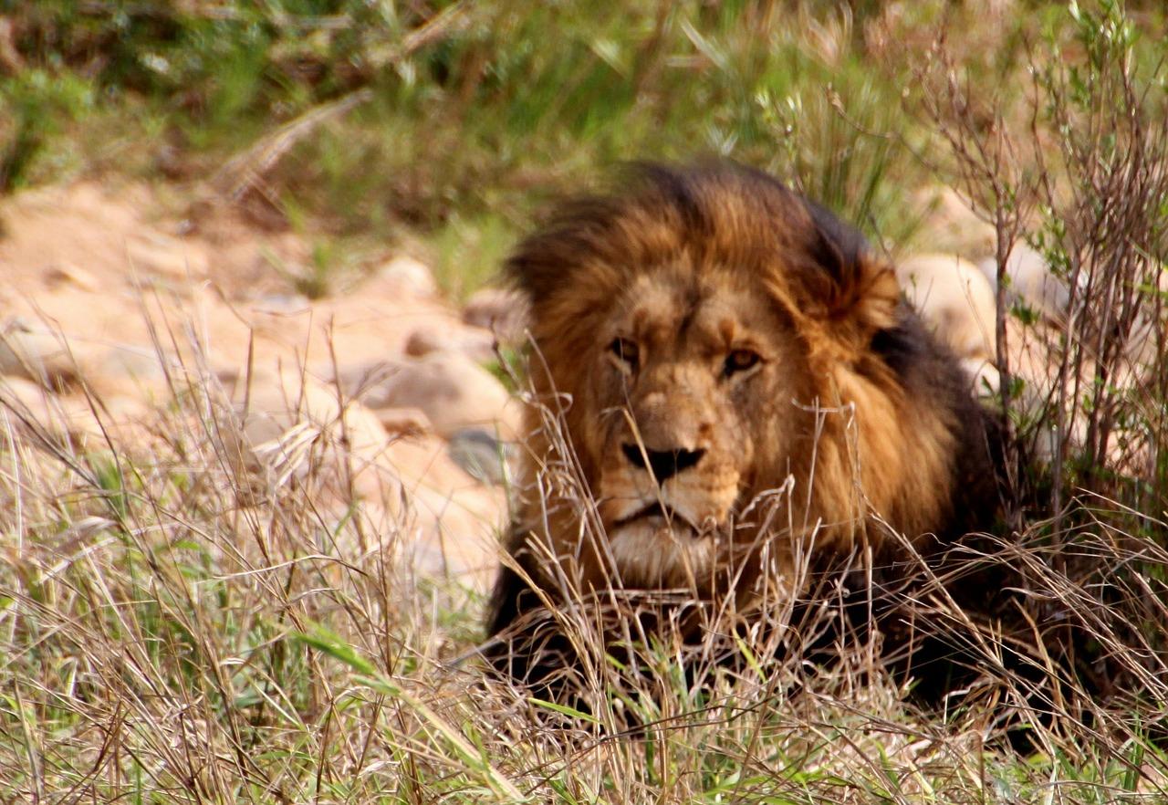 Leão descansando na sombra