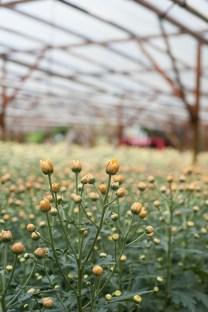 Chrysanthemum Flower Buds