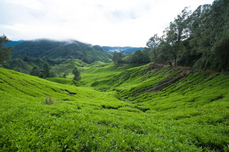 Tea Planations at Cameron Highlands