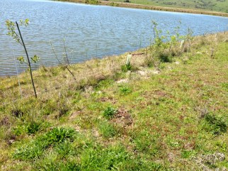 Trees planted along pond