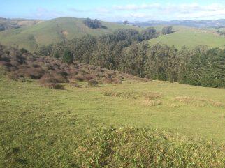 Eucalyptus along creeks