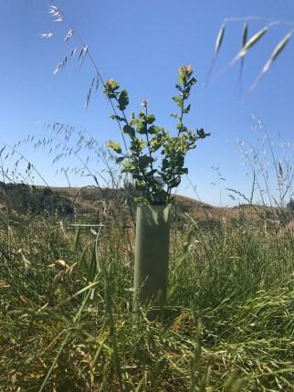 An enthusiastic oak seedling