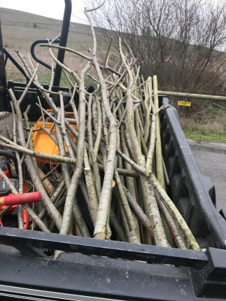 Willows ready to plant