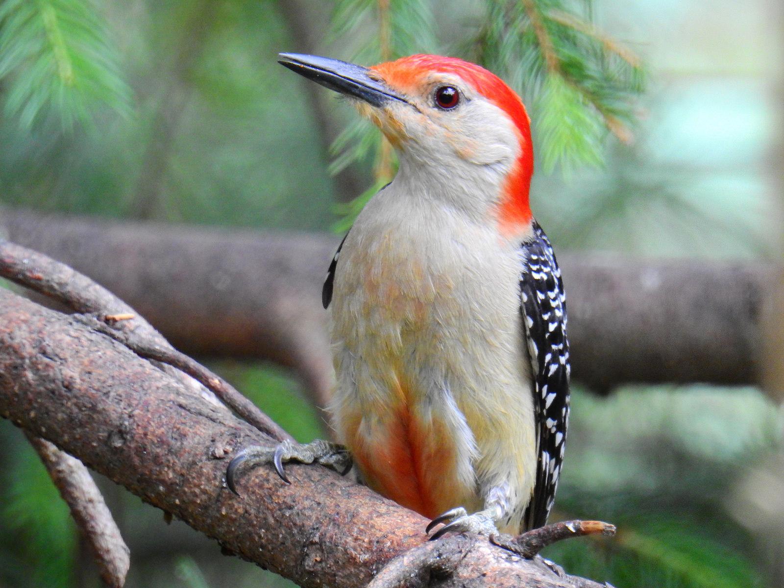 RedBelWoodpecker