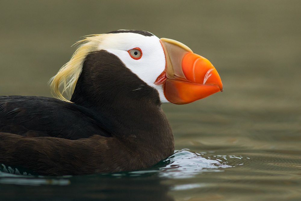 Tufted Puffin A Tufted Puffin swims in the lee of the island on which it nests. Photographed in Washington, USA.