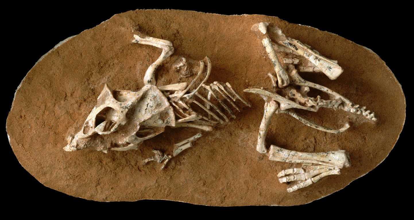 A hatchling Protoceratops andrewsi fossil from the Gobi Desert in Mongolia. Credit M. Ellison/American Museum of Natural History.
