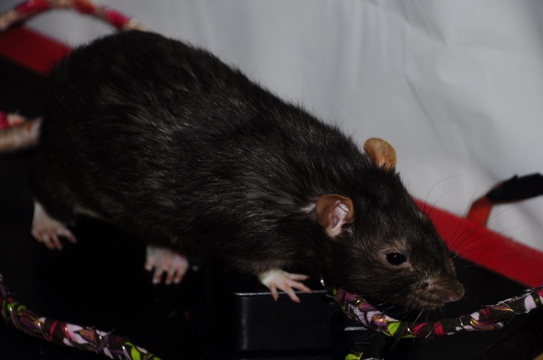 Ratcord3