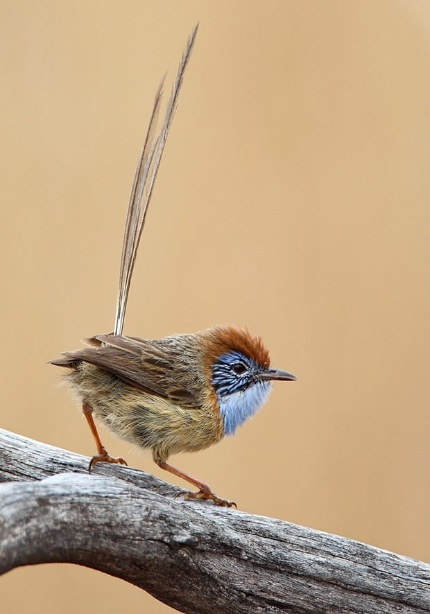 A Mallee emuwren: it has the advantage of being objectively adorable. Photograph: Dean Ingwersen/BirdLife Australia.