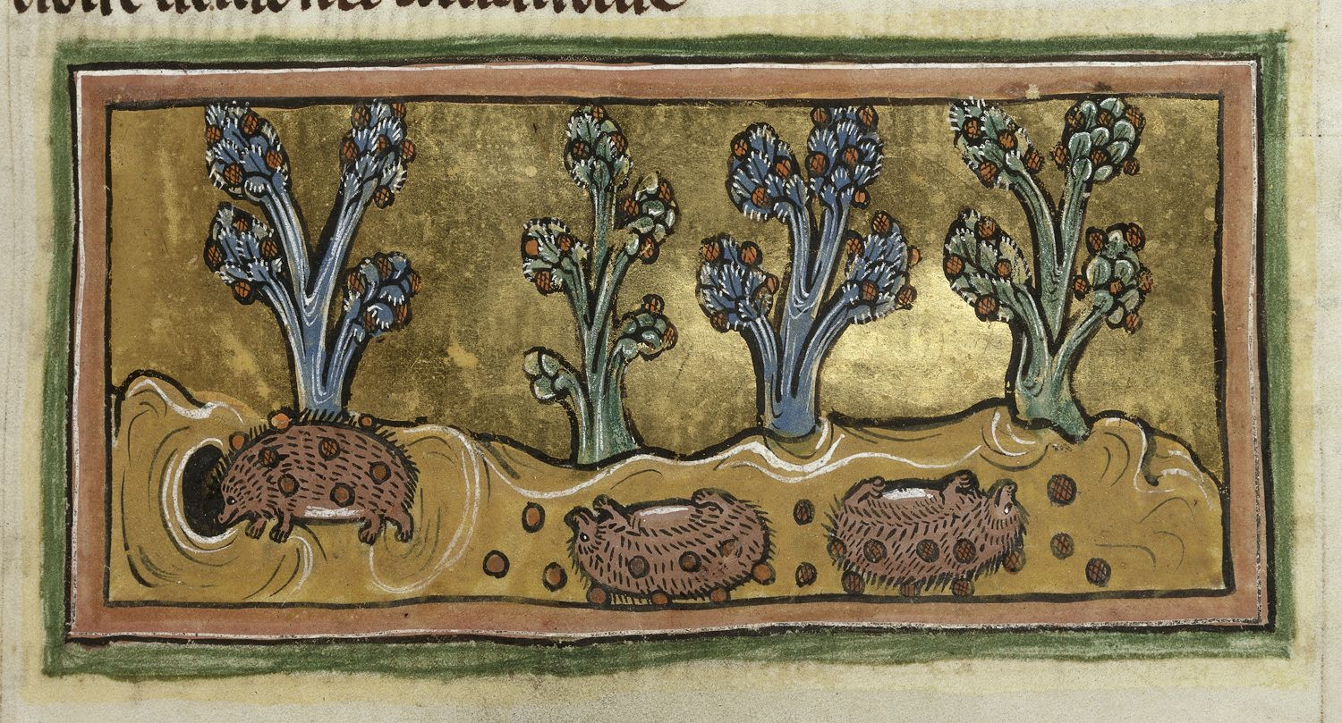 Detail of a miniature of hedgehogs rolling on grapes, sticking them to their spines to carry back to their young; folio 45r, Rochester Bestiary.