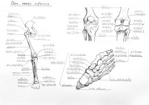 Lower Limb Skeleton