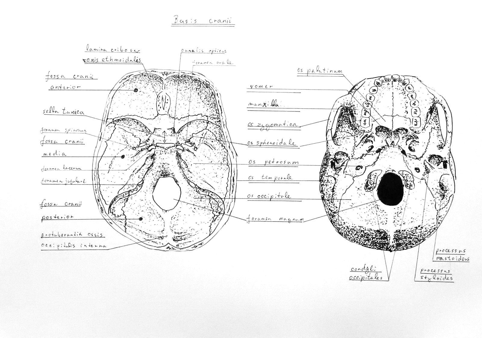 Anatomy Atlas Part 5 – Skull Base