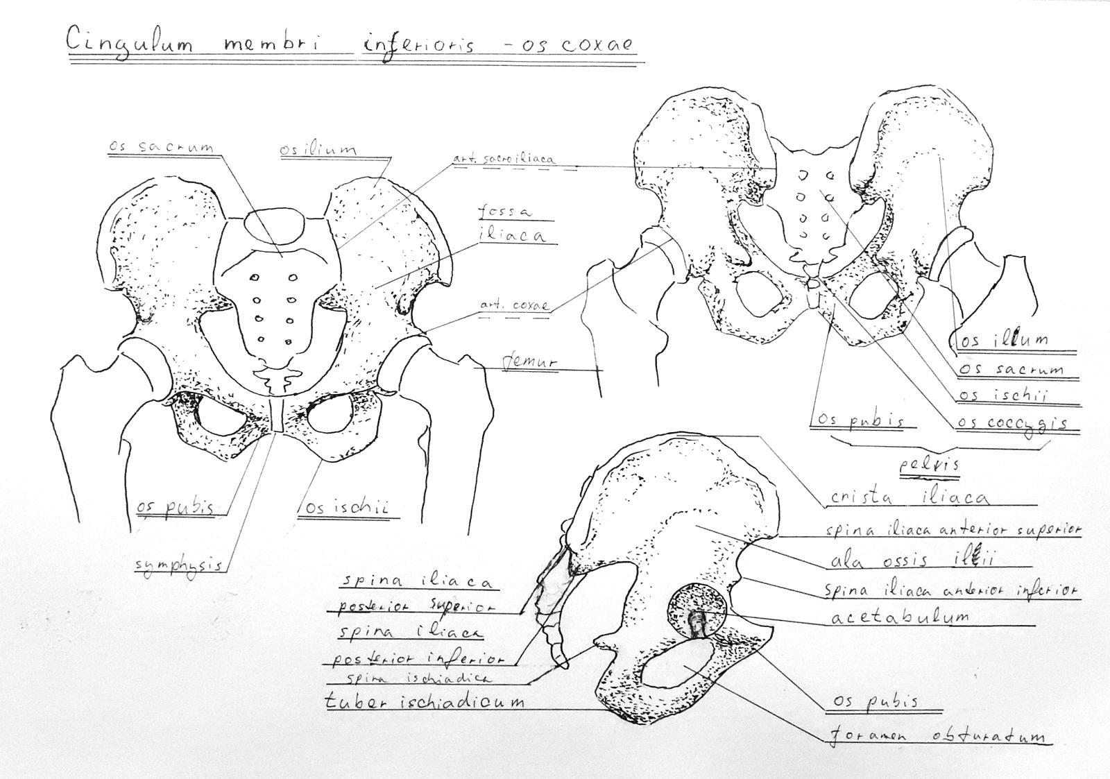 Pelvis skeleton