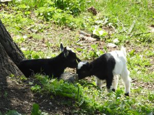 Lambs and goats