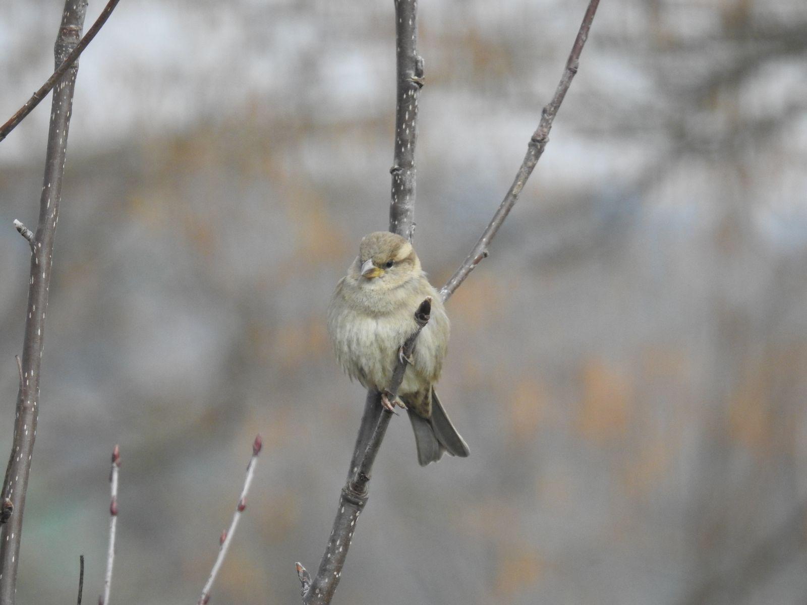 Sparrow female