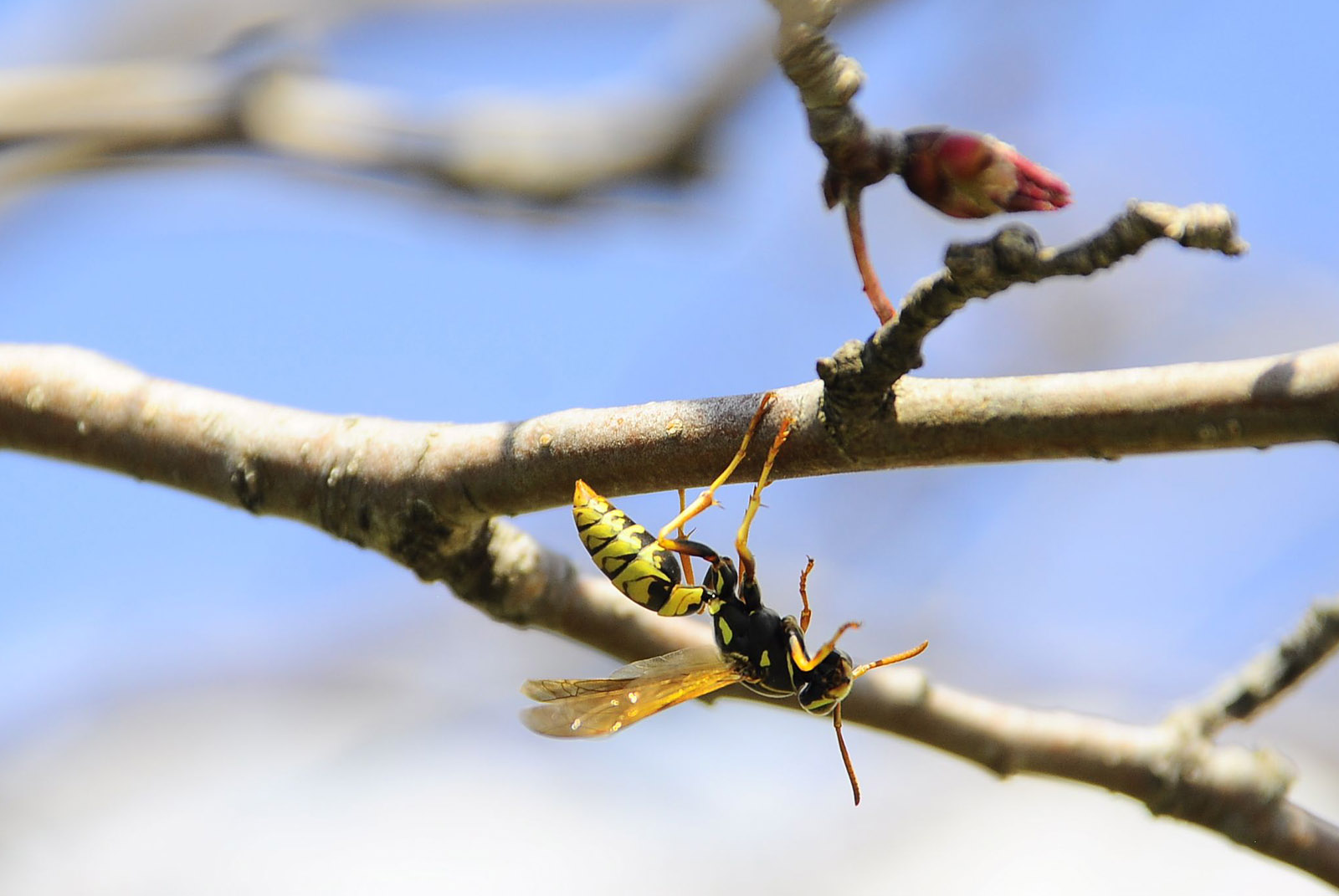 Wasp on Crabapple.