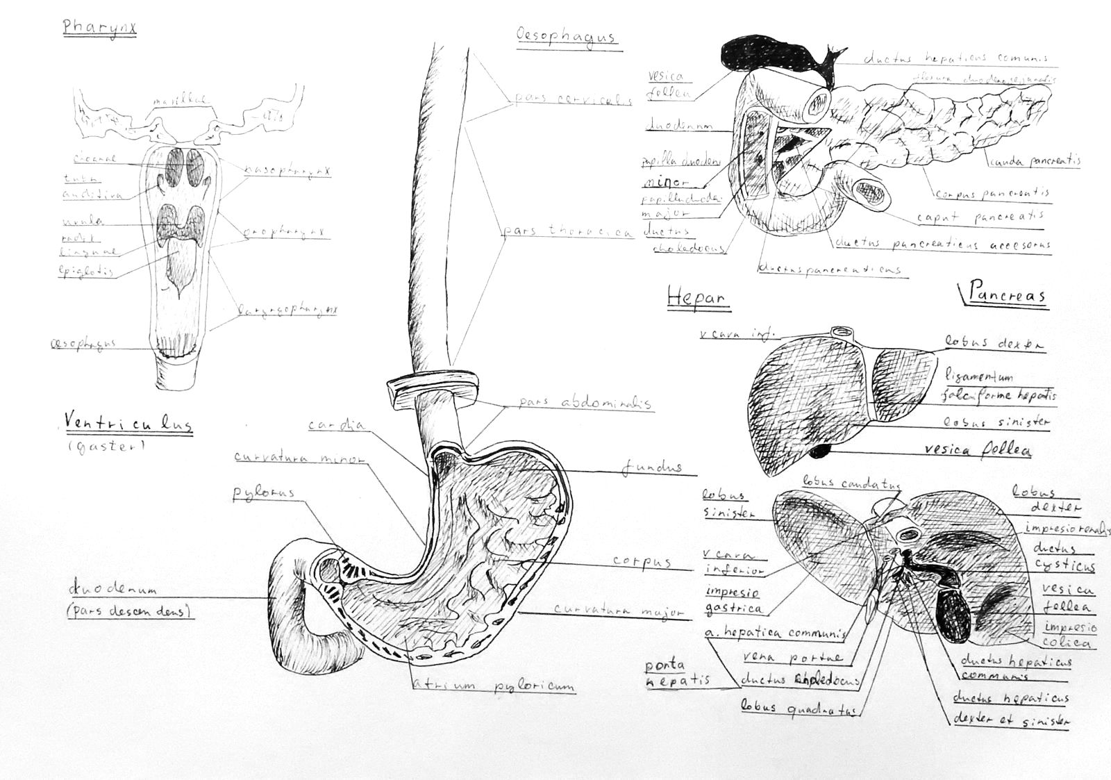 Anatomy Atlas Part 12 – Liver, Spleen, Stomach