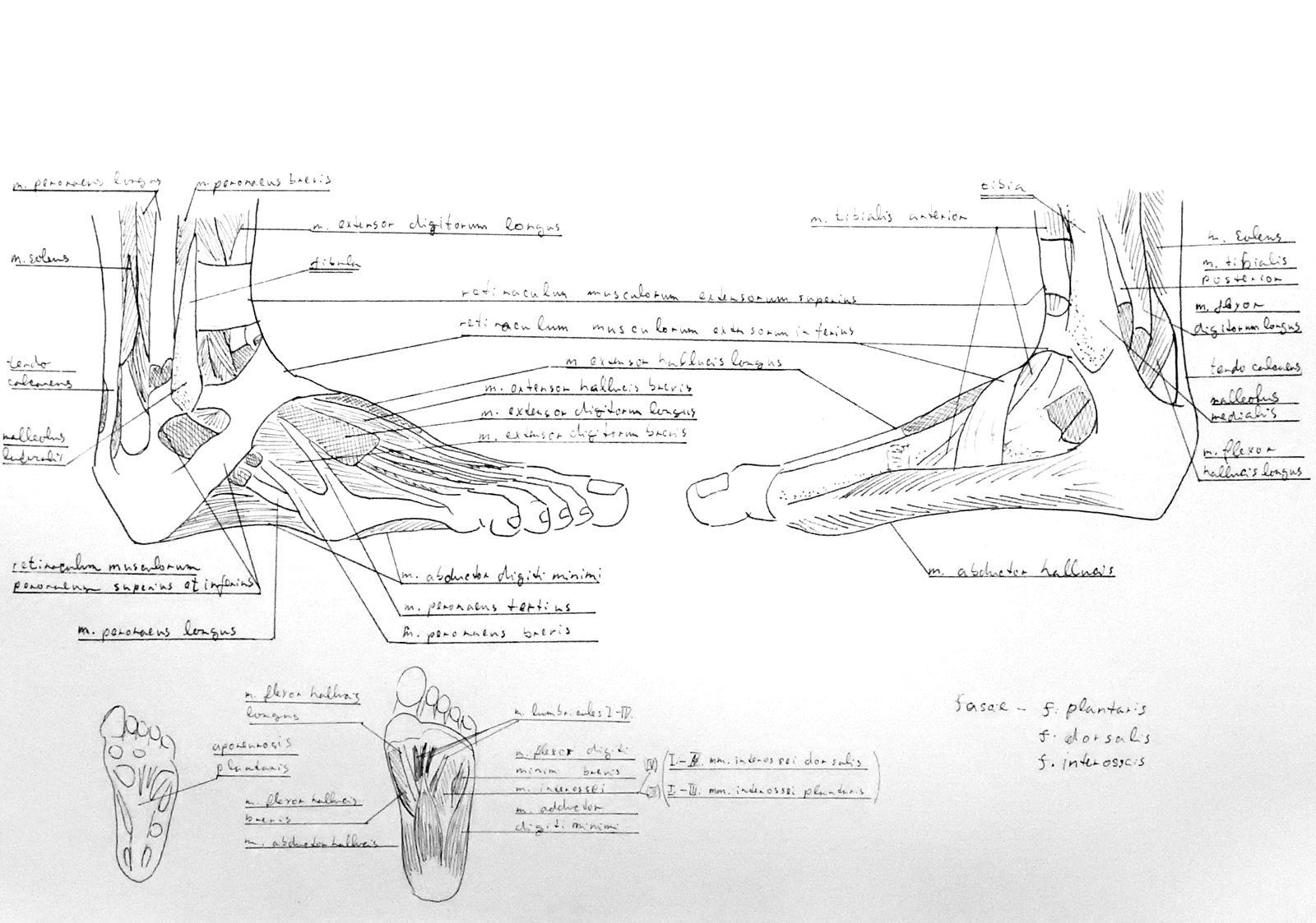 Anatomy Atlas Part 16 – Feet Muscles